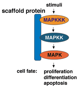 MAPKカスケードのin vivoにおける役割,及び足場タンパク質によるキナーゼ複合体の形成