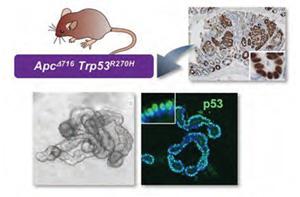 p53 の核内蓄積と、腫瘍オルガノイドの複雑な腺管構造形成誘導