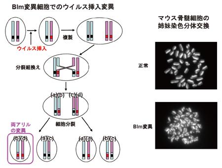変異マウスを利用したウイルス挿入変異によるがん抑制遺伝子の効率的な単離