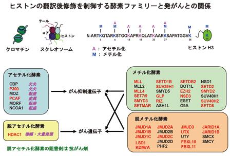 ヒストンのメチル化を制御する酵素の多くは,ウイルス挿入変異の標的となっている