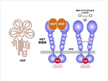 図1 形態形成やがん浸潤・転移におけるHGF