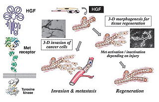 Fig.1 Biological functions of HGF in regeneration, 3-D morphogenesis, and tumor invasionmetastasis