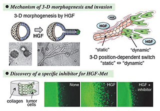 Fig.2 3-D morphogenesis and inhibition of tumor invasion