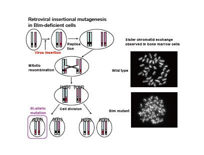 Retroviral insertional mutagenesis in Blm-deficient cells